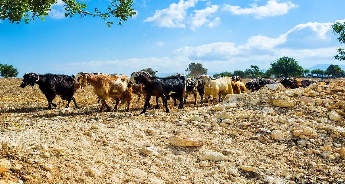 Burası Kıbrıs: 'Sahte' Keçilerden 'Sınır İhlali'! | Video